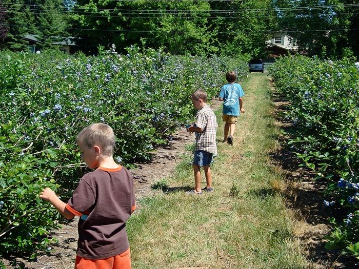 """Wilmot blueberries""的图片搜索结果"