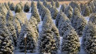 Now that we have entered the Holiday season, many families will be putting up Christmas trees in the next few weeks as part of their traditional celebrations.  With a variety...