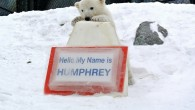 "March 6, 2014, Toronto, Ontario: The public has spoken! With over 14,000 people voting in the 'Name the Cub' contest, a name has emerged as the favourite! ""Humphrey"" has been..."